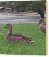 New Zealand - Mallard Ducks On The Grass Wood Print