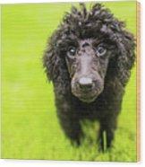 Poodle Puppy Wood Print