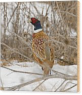 Ring Necked Pheasant Wood Print