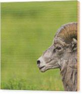 Rocky Mountain Big Horned Sheep Wood Print