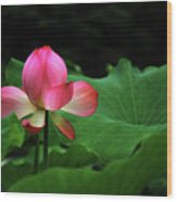 Blossoming Lotus Flower Closeup Wood Print