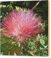 Australia - Red Caliandra Flower Wood Print