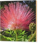 Australia - Caliandra Red Flower Wood Print