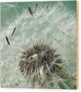 Dandelion Seeds On Flower Head Wood Print