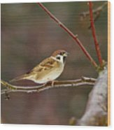 Eurasian Tree Sparrow Wood Print