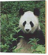 Giant Panda Ailuropoda Melanoleuca Wood Print by Cyril Ruoso