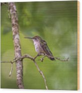 Hummingbird Found In Wild Nature On Sunny Day Wood Print