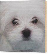 Maltese Puppy Wood Print
