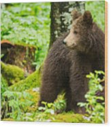 One Year Old Brown Bear In Slovenia Wood Print