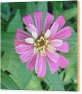 Pink Zinnia Wood Print