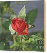 Red Rose Blooming Wood Print