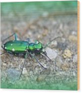 6-spotted Green Tiger Beetle Wood Print