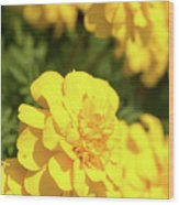 Tagetes Patula Fully Bloomed French Marigold At Garden In Octob Wood Print