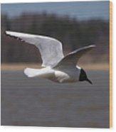 Black-headed Gull Wood Print