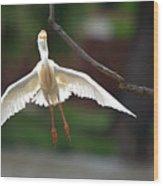 Cattle Egret In Flight Portrait Wood Print