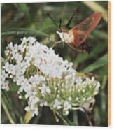 Clearwing Hummingbird Moth Wood Print