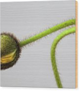 Poppy Bud Wood Print