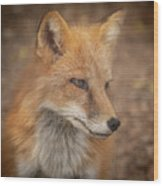 Russian Red Fox Wood Print