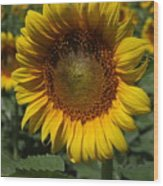 Sunflower Series Wood Print