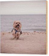 York Dog Playing On The Beach. Wood Print