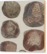 Aquatic Animals - Seafood - Shells - Mussels Wood Print