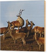 Red Deer In The Highlands Wood Print