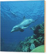 Bottlenose Dolphin Tursiops Truncatus Wood Print