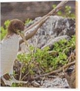 Juvenile Nazca Booby In Galapagos Wood Print