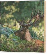 Majestic Powerful Red Deer Stag Cervus Elaphus In Forest Landsca Wood Print