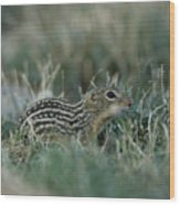 A 13-lined Ground Squirrel At The Henry Wood Print