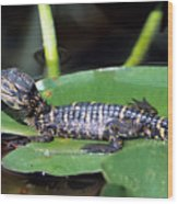 A Baby Alligator Resting On A Lilly Pad Wood Print
