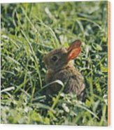 A Baby Cottontail Rabbit Sits Among Wood Print