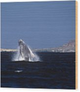 A Baby Humped Backed Whale Breeching In Banderous Bay Mexico Wood Print