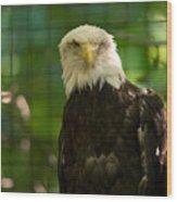 A Bald Eagle At The Lincoln Zoo Wood Print