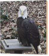 A Bald Eagle Wood Print