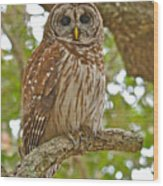 A Barred Owl Wood Print
