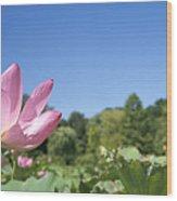 A Beautiful Emperor Lotus Blooms Wood Print