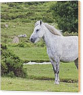 A Beautiful White Dartmoor Pony, Devon, England Wood Print