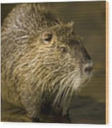 A Beaver From The Omaha Zoo Wood Print by Joel Sartore