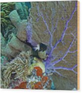 A Bi-color Damselfish Amongst The Coral Wood Print
