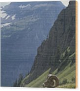 A Bighorn Sheep Ram, Ovis Canadensis Wood Print