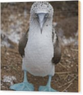 A Blue Footed Booby Looks At The Camera Wood Print