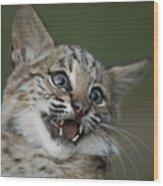 A Bobcat At A Wildlife Rescue Members Wood Print by Joel Sartore