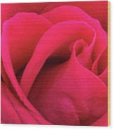 A Bright Pink Rose Close-up Wood Print