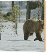 A Brown Bear Ursus Arctos Walks Wood Print