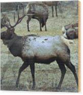 A Bull Elk  Wood Print