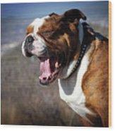A Bulldog's Mighty Yawn Wood Print