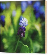 A Bunch Of Flowering Two-tone Grape Hyacinths, No.2. Wood Print