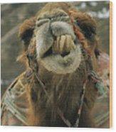 A Camel Displays Its Teeth Wood Print