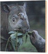 A Captive Sumatran Rhinoceros Wood Print by Joel Sartore